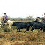 Horse Riding Holidays - La Camargue France - Bull 2