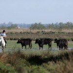 Horse Riding Holidays - La Camargue France - Bull 3