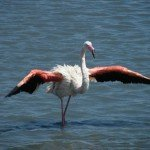 Horse Riding Holidays - La Camargue France - Flamingo