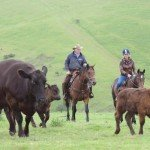 UK Cattle Herding Farm Dartmoor Photo10