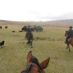 UK Cattle Herding Farm Dartmoor Photo13