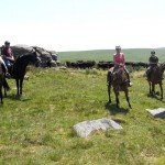 UK Cattle Herding Farm Dartmoor Photo3