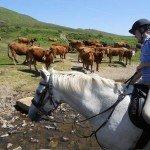 UK Cattle Herding Farm Dartmoor Photo4
