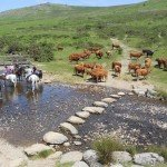 UK Cattle Herding Farm Dartmoor Photo5