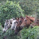 Horses headge - Nile Horseback Safaris Uganda